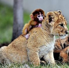 Baby monkey and baby lion <3