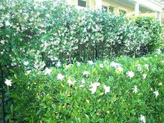 Perfect Moon Garden combo - Confederate Jasmine on Trellis,Gardenia hedges.This would be heavenly come  Moonrise!