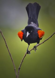 Red Wing Blackbird. I love their song; Minnesota in the summertime.
