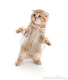 Striped Scottish kitten fold dancing isolated