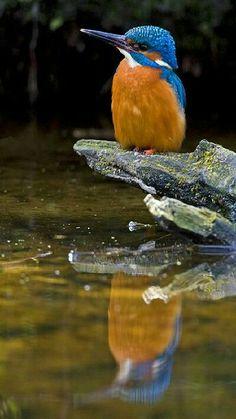 ¤  Losalcedínidos Alcedinidae••• Son unafamiliadeavescoraciiformes, una de las tres familias pertenecientes al sub ordenAlcedines, cuyos miembros suelen denominarse comúnmentemartines pescadores. Se extiende porÁfrica, el sur y este deAsia, llegando hastaAustralia; enEuropaexiste una sola especie (Alcedo atthis). Se piensa que la familia tiene su origen en Asia.
