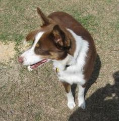 Jo is an adoptable Australian Shepherd Dog in Jesup, GA. Jo is a 1 year old gorgeous, well mannered, blue eyed guy! He is house trained. His vaccinations are up to date, he has been micro chipped a...
