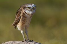 Burrowing Owl, Hyacinth Valley, Brazil Photo by Sean Crane Blog Pictures, Animal Pictures, Owl Species, Burrowing Owl, Kinds Of Birds, Appreciation Post, Owl Bird, A Whole New World, Baby Owls