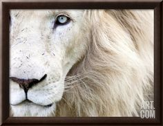 Full Frame Close Up Portrait of a Male White Lion with Blue Eyes.  South Africa., by Karine Aigner
