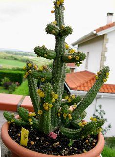 Echidnopsis cereiformis var lutea - skaracu Ağaç Dostu