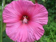 アメリカフヨウ    アオイ科 ハイビスカス属で花の直径は30センチにもなる大きさが魅力です。耐寒性宿根草で広島の北海道と言われる高野町でも30年にわたって咲いています。「サカタのタネ」のカタログで種を注文し育てた残りが生きているのです。写真は8月16日撮影。高さ1メートルぐらいです。 学名 Hibiscus moscheutos
