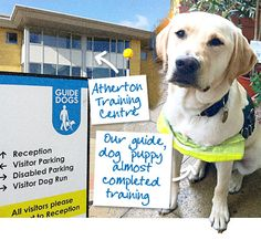 #Guide #Dog - Gibson in training! branding agency nottingham Guide Dog, Dog Runs, Branding Agency, Training Center, Nottingham, Dog Training, Cute Puppies, Packaging Design, Charity