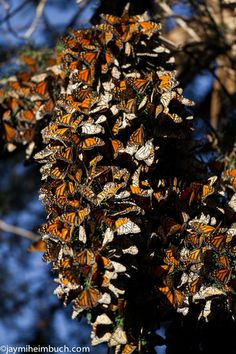 treehugger photo of the day - migrating monarch butterflies