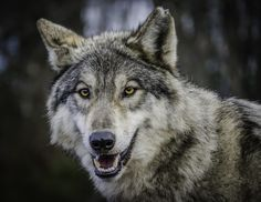 If a wolf could smile this is what it would look like!