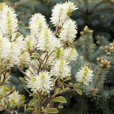 Fothergilla. White flowers in early spring, colored foliage in fall.