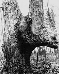 """Iroquois """"Spirit Tree photographed near Ft Wayne, Indiana.  Photo from """"The Nephilim Chronicles: A Travel Guide to the Ancient Ruins in the Ohio Valley."""""""