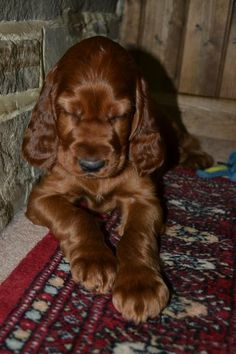Finley the Irish Setter Pictures 1058560
