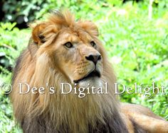 8x10 Lion Photo Print Buffalo Zoo by DeesDigitalDelight on Etsy, $20.00