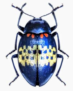 Bernard Durin — Beetles and other Insects Beetle Insect, Beetle Bug, Insect Art, Blue Beetle, Cool Insects, Bugs And Insects, Cool Bugs, A Bug's Life, Beautiful Bugs