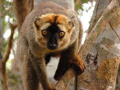Lathering up with orange goo from millipede guts might relieve infections, expel parasites in lemurs Sa Tourism, Insect Repellent, Primates, Bugs, Lemurs, Forest Floor, Wild Animals, Scientists, Science