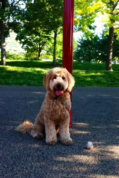Maxy Bear #goldendoodle
