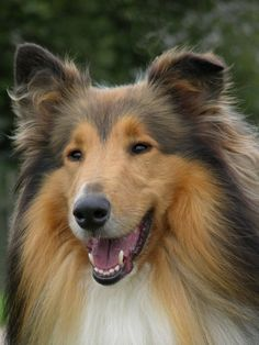 Rough Collie DSCN0086 | by Andrew Wright2009