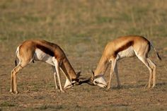 Antelopes of Africa | Beautiful dangerous wild animals pets of Africa