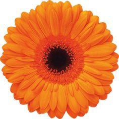 Manitou variety standard gerbera from Hollandia greenhouse. http://www.hollandia.ca/album/standardgerbera/Manitou.jpg