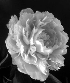 peony tattoo designs | Peonies Pictures Pics Images And Photos For Inspiration