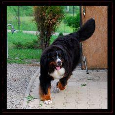 della Torre d'Ovarda Bernese Mountain Dogs