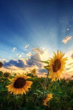 Natural sun flower and sun light