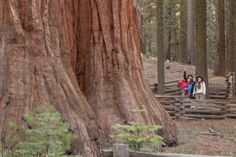 Yosemite Nature Notes®: Big Trees