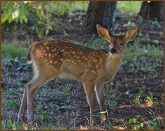 Black tailed deer, fawn, California