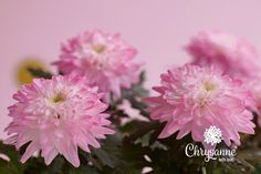 Chrysanne® - Яркие цветы для яркой жизни Chrysanthemum Flower, Potted Plants, Shades Of Blue, Flora, Colours, Awesome, Creative, How To Make, Gifts