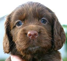 aww look at that face :) precious... Sussex Spaniel