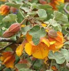 Fremontodendron - Flannel Bush (from the San Marcos Growers California Native Plant Page)