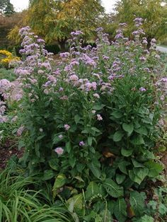 Image result for aster herveyi