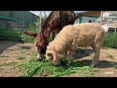 L'ânesse Puica s'est trouvé un meilleur ami exceptionnel; le bélier Nhan.✨. Comme vous vous en souvenez probablement, Puica et Nhan ont tous les deux été sauvés de situations différentes : Le bel âne femelle Puica a été trouvé abandonné dans un champ à environ 60 km de Bucarest 💔. Elle était incapable de se tenir debout. Heureusement, notre partenaire local ARCA a pu la sauver juste à temps 💨. L'année dernière, un cargo 🚢 transportant 14000 moutons, dont Nhan, a chaviré. En collaboration… The Donkey, Sheep, Abandoned, Goats, Animals, Comme, Beautiful, Bucharest, Female