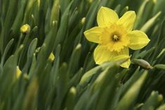 How to Split Bulbs and Store Daffodils