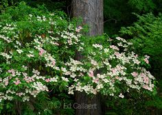 Dogwood Bloom, Redwood, Fern Canyon Garden, Mill Valley, California