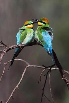 The Rainbow Bee-eater is a near passerine bird in the bee-eater family Meropidae. It is the only species of Meropidae found in Australia.