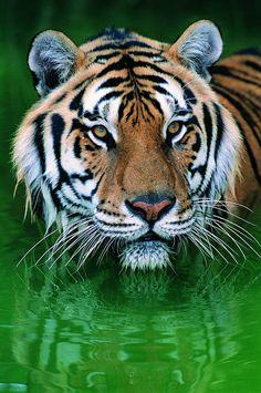 wild big cats amazing tiger photography #wildlife #bigcats #bengaltiger #tiger