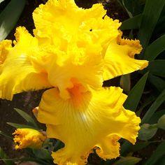 C and T Iris Patch: Amarillo Frills