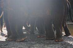 A lot of elephant legs.