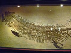 A fished that was fossilized along with it's dinner. Royal Tyrrell Museum, Drumheller, Alberta
