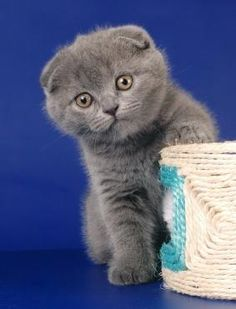 Scottish fold kittens: folded ears, big eyes and round heads. Resemble cuddly bears and wide-eyed owls or otters. Playful,friendly and inquistive.