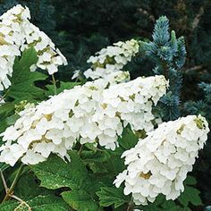 Gardening by region. Top flowering shrubs for teh south.