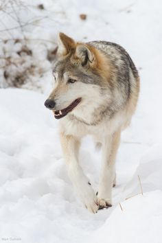 Mexican Wolf ~ By Mark Dumont**