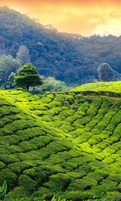 Tea was first introduced in Kenya in 1903 and they have been producing delicious tea ever since. Beautiful Landscape Wallpaper, Beautiful Landscapes, East African Rift, Mount Kenya, Kenya Nairobi, Cameron Highlands, Serenity Now, African Countries, Plantation