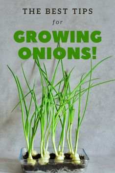 A super simple How-To for growing spring onions at home from food scraps, to re-use numerous times! Two methods that can both be done indoors, with little space and mess and no onion seeds necessary! Growing Spring Onions, Types Of Onions, Clear Fruit, Spring One, Edible Flowers, Green Day, Growing Vegetables, Super Simple, Garden Beds