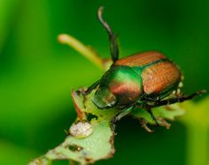 Natural Japanese Beetle Control for the Garden - I hate those beetles!!!
