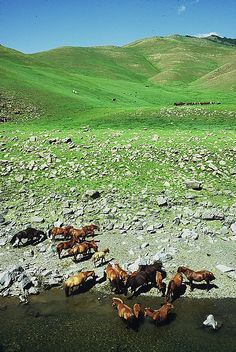 Mongolia: A Herd of Horses In The Wide Open Spaces. Mongolia, Beautiful World, Beautiful Places, Amazing Places, Easy Jet, Destinations, Wild Horses, Wonders Of The World, Places To See