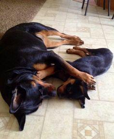 Sweet #Rottweiler family