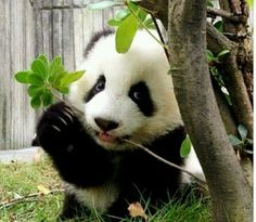 #well-behaved #panda
