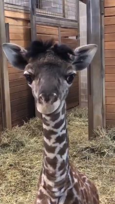 Such a cutie cute animals baby, cute funny animals, cute dogs, baby laughing Cute Little Animals, Cute Funny Animals, Cute Dogs, Funny Animal Memes, Funny Animal Pictures, Funny Dogs, Baby Giraffe Pictures, Animal Funnies, Funny Dachshund